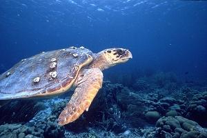 obdivujte želvy ve vodách Malediv