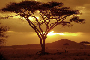 Sunset on Acacia Tree