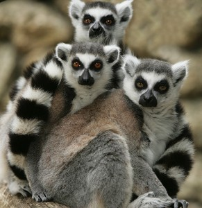 ring-tailed-lemurs-1014121